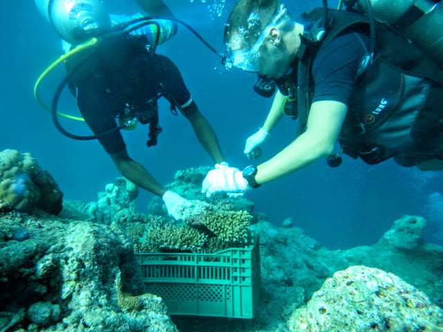 Working with corals, Kurumba Maldives