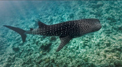Whale Shark Expedition, Maafushivaru