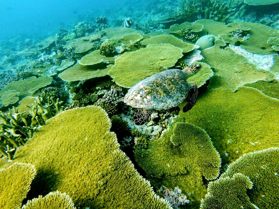 Turtle, Reef, LUX* Maldives