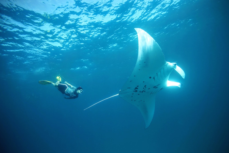 Manta Ray and snorkeller at Hanifaru Bay, Anantara Kihavah Villa