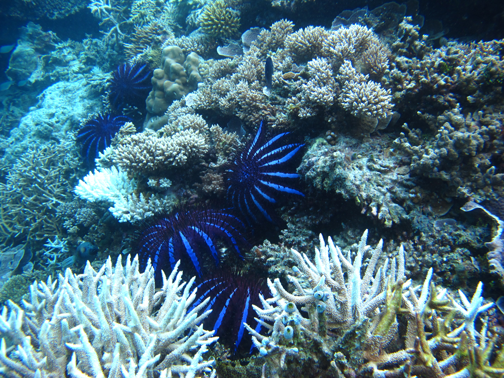 W-Maldives crown of thorns starfish