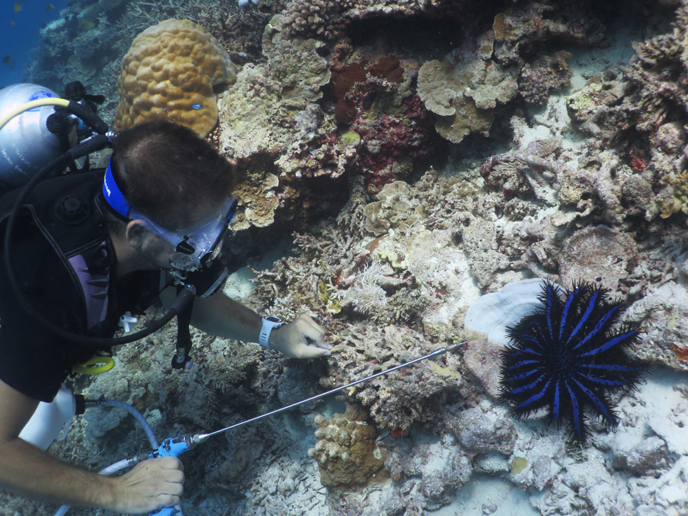 W-Maldives crown of thorns starfish 2