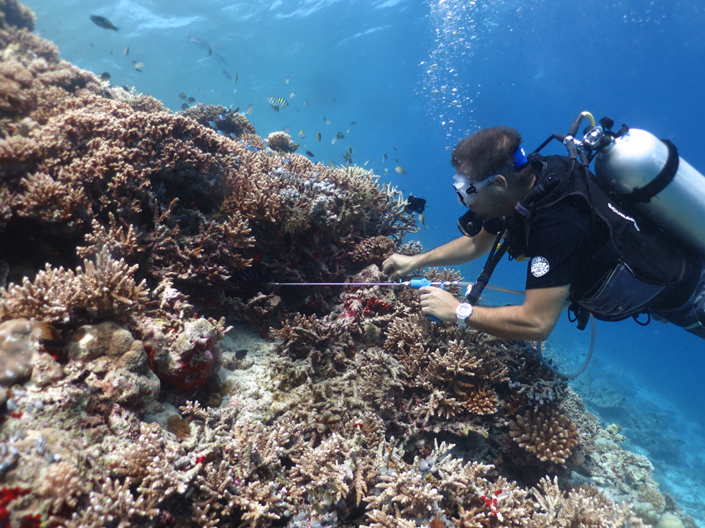 W-Maldives crown of thorns starfish 4