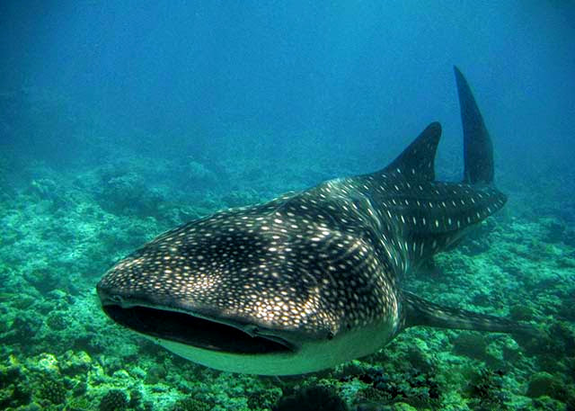 Whale Shark, Centara Grand Island Resort & Spa