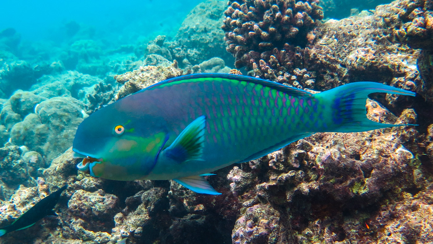 Parrotfish, Vivanta By Taj Coral Reef. Photo Credit: Will Erazo Fernandez