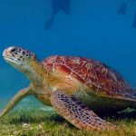 Turtle, Hurawalhi hosts Martin Stelfox's Olive Ridley Project