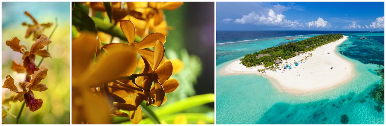 The-Kanuhura-Maldives-Orchid-flowers-again-after-two-year-break-1