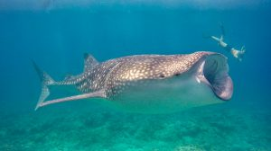 Excursion - Whale shark snorkeling
